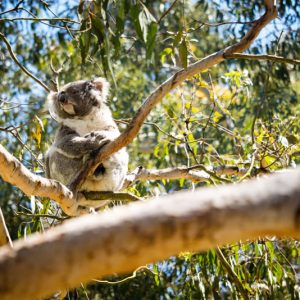 Phillip Island - koala